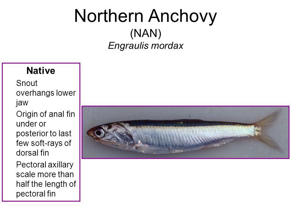 Northern Anchovy (NAN) Engraulis mordax
