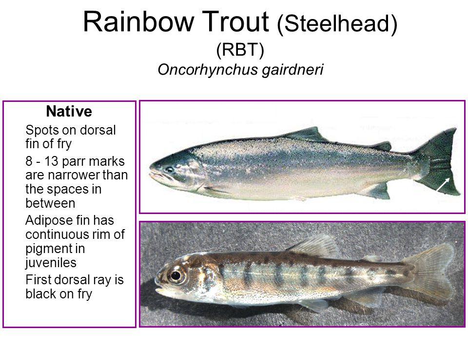Rainbow Trout (Steelhead) (RBT) Oncorhynchus gairdneri