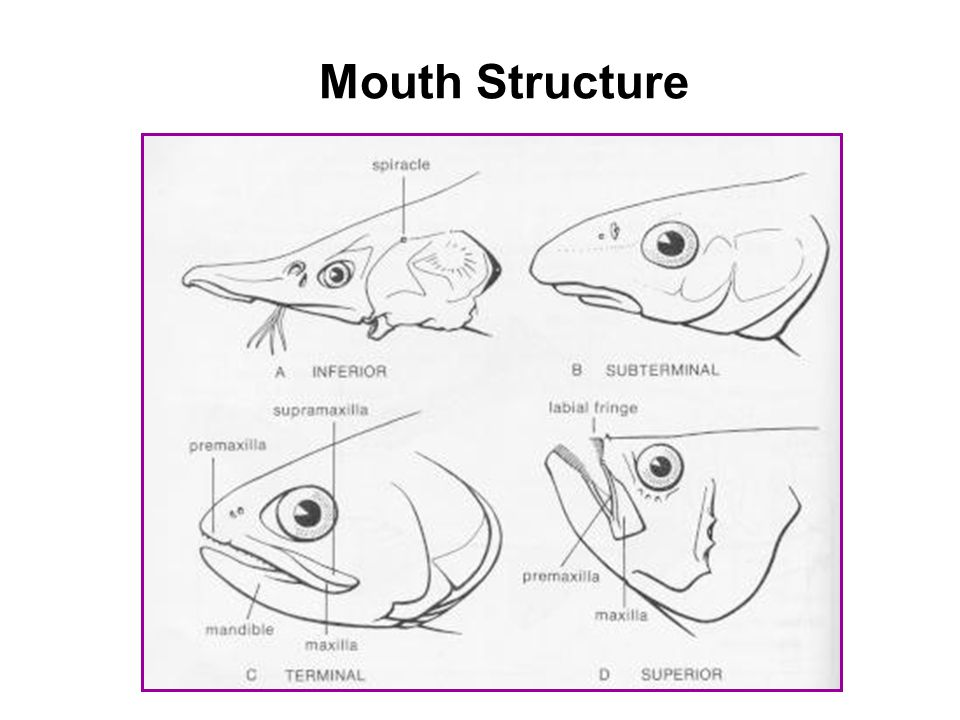 Mouth Structure