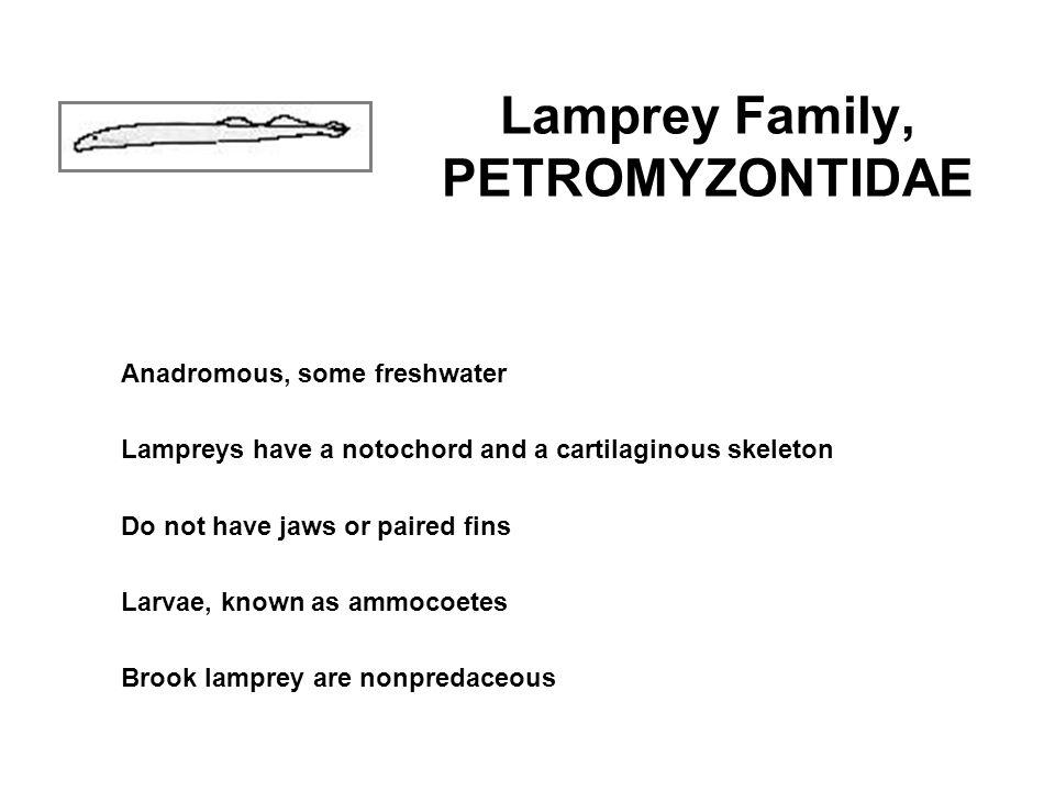 Lamprey Family, PETROMYZONTIDAE
