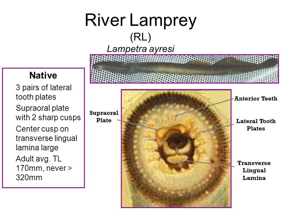 River Lamprey (RL) Lampetra ayresi