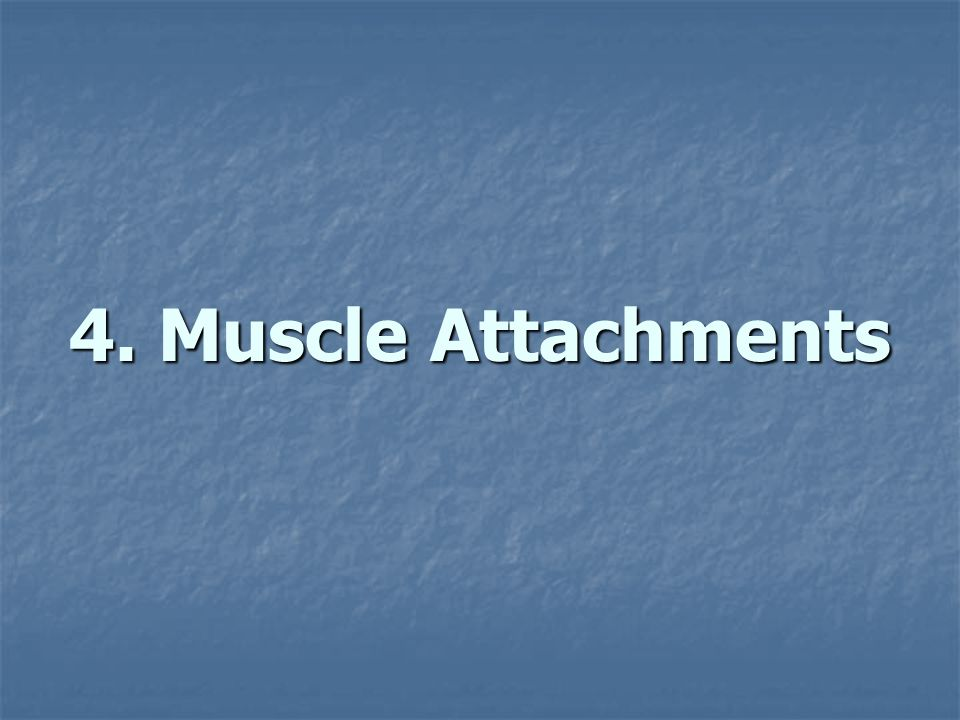 4. Muscle Attachments