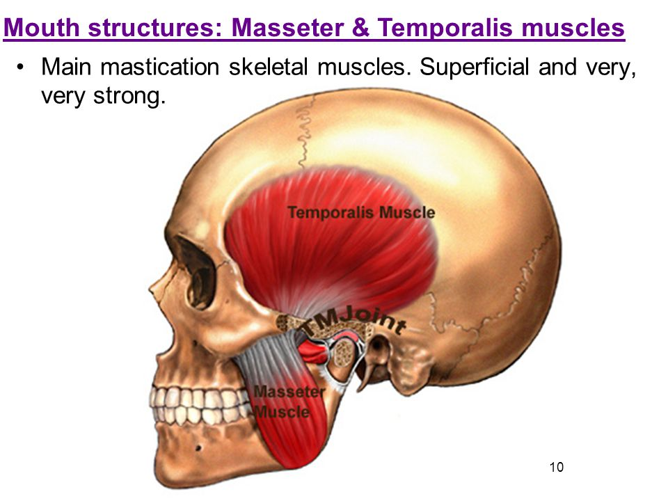 Mouth structures: Masseter & Temporalis muscles