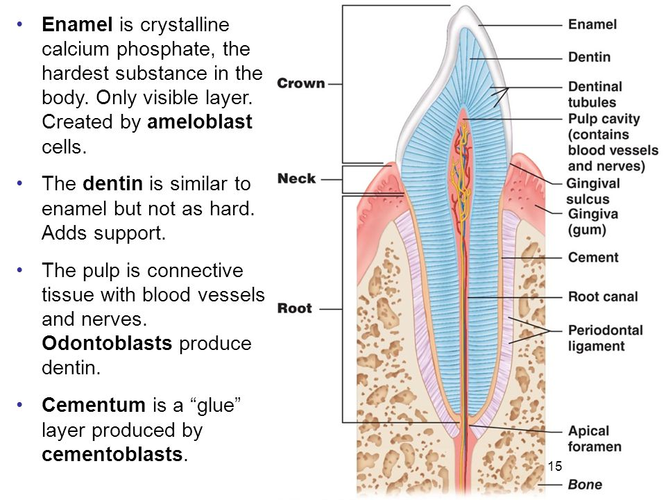 The dentin is similar to enamel but not as hard. Adds support.