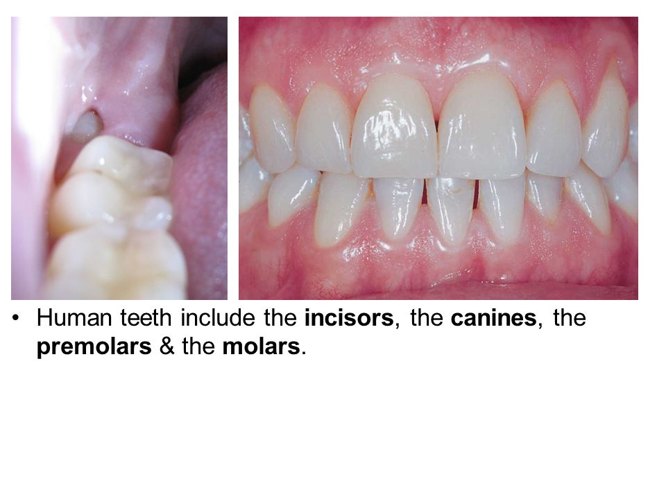 Human teeth include the incisors, the canines, the premolars & the molars.