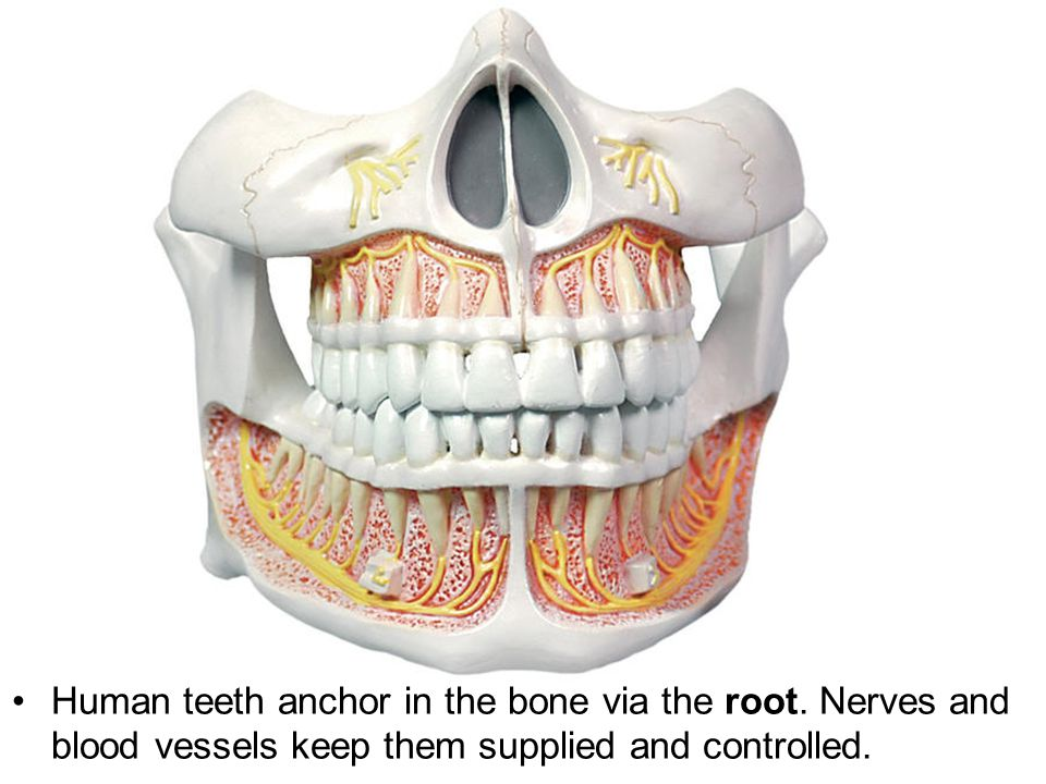 Human teeth anchor in the bone via the root
