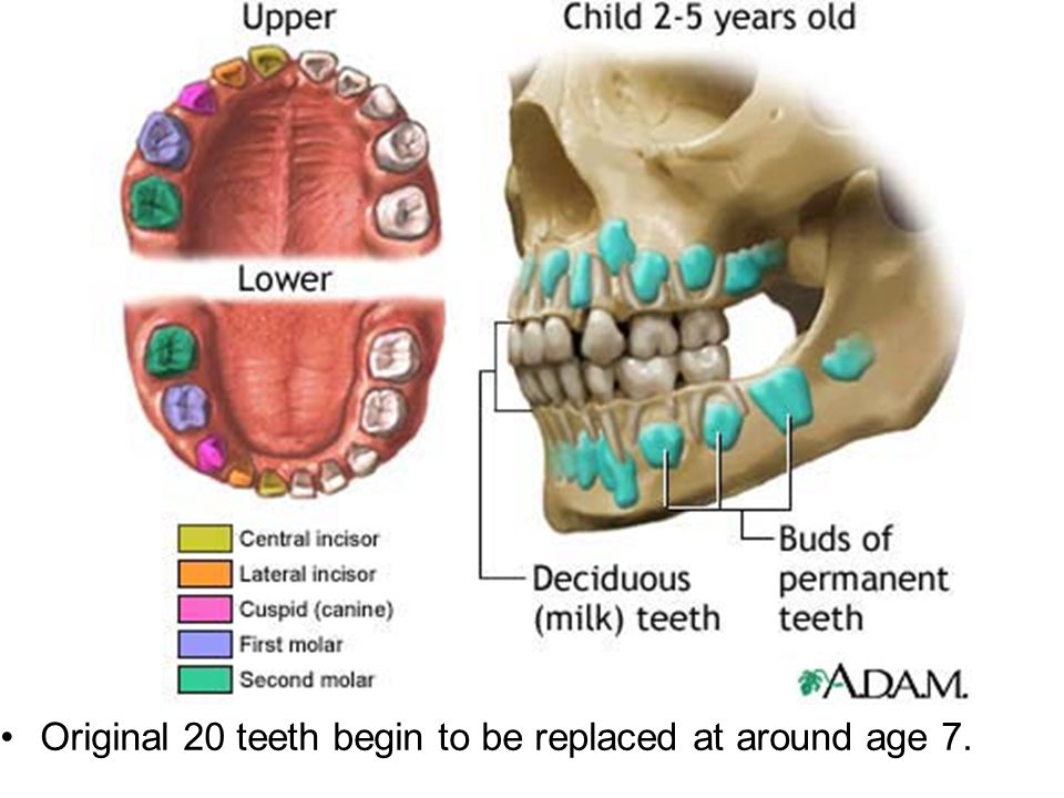 Original 20 teeth begin to be replaced at around age 7.