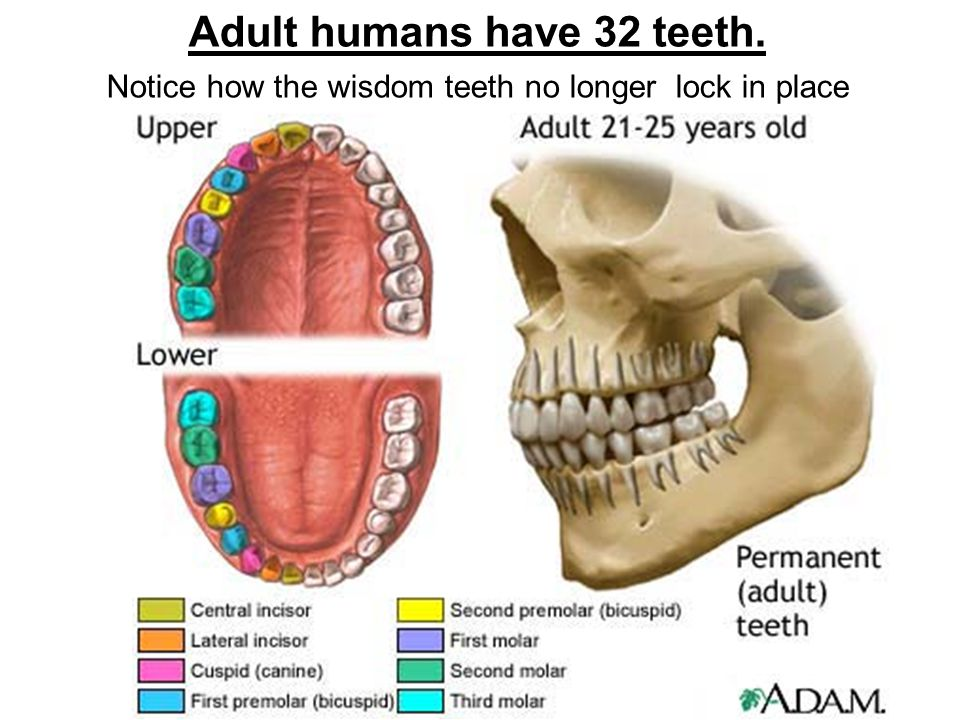 Adult humans have 32 teeth.