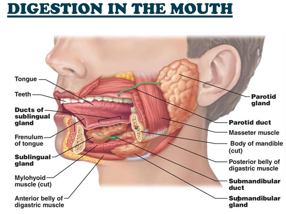 DIGESTION IN THE MOUTH 3