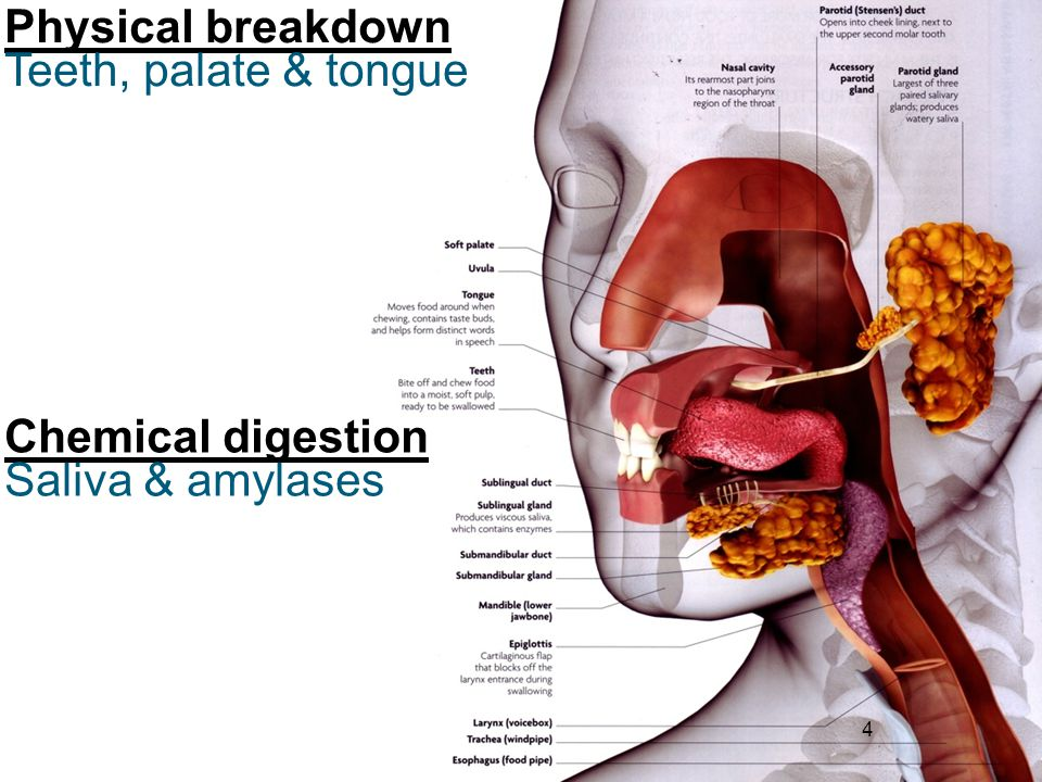Physical breakdown Teeth, palate & tongue Chemical digestion