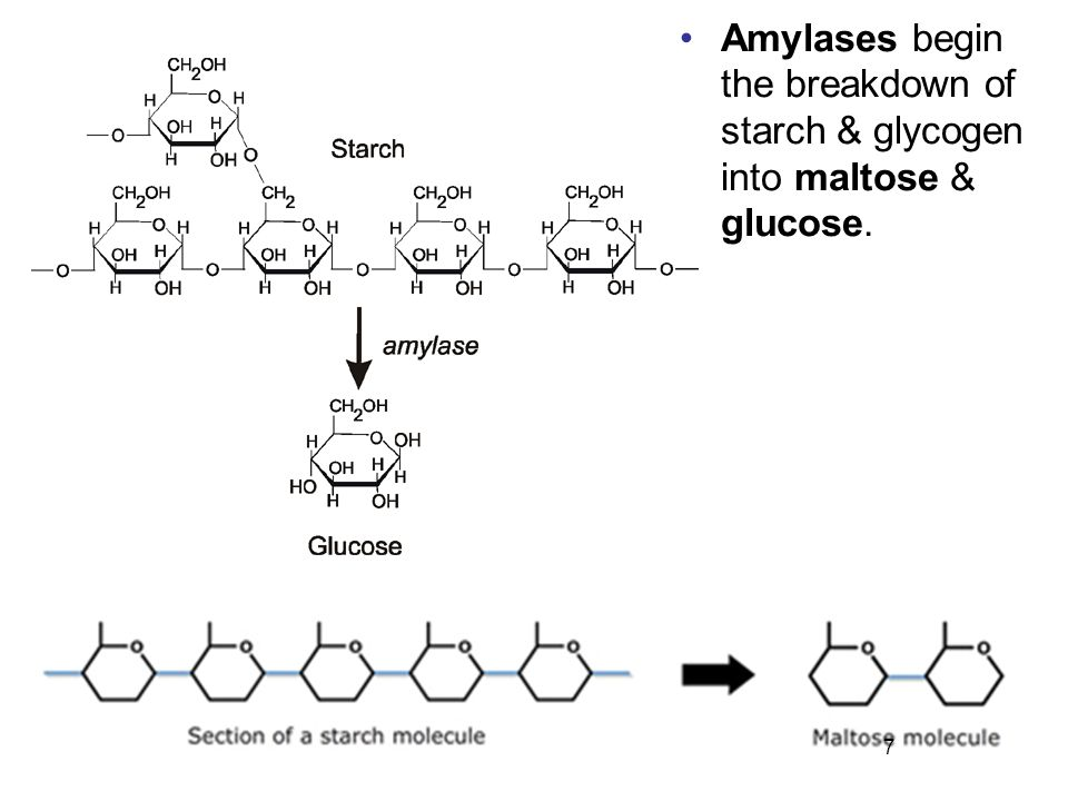 Amylases begin the breakdown of starch & glycogen into maltose & glucose.