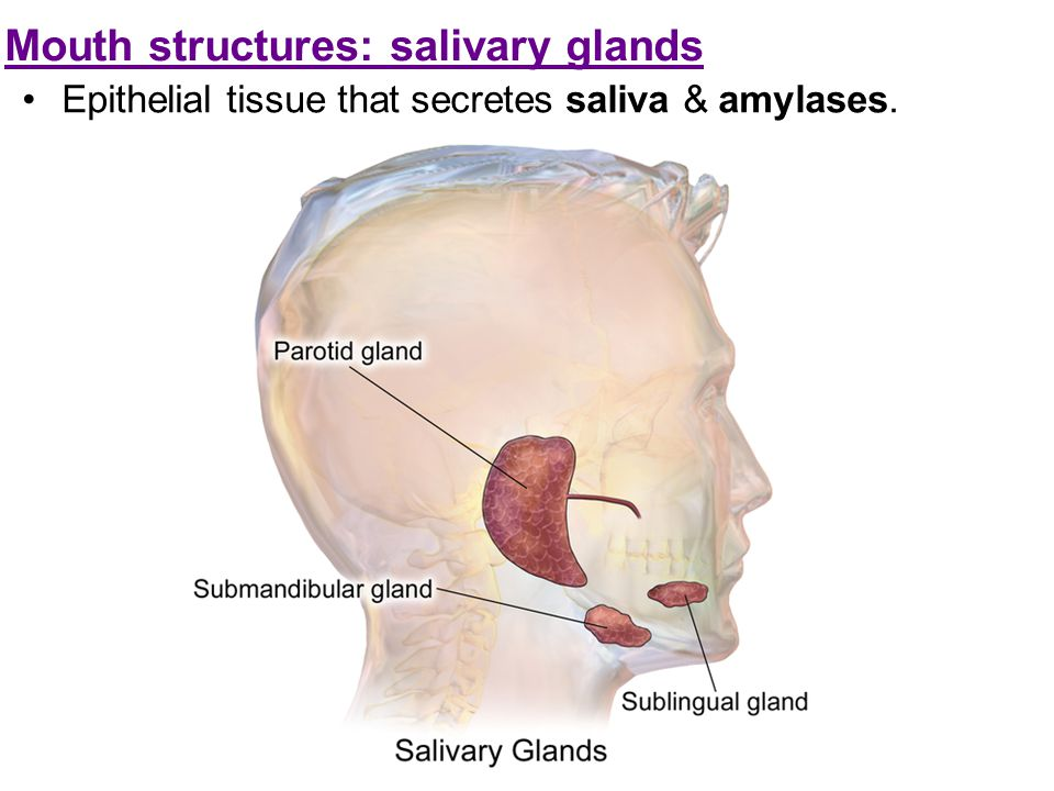 Mouth structures: salivary glands