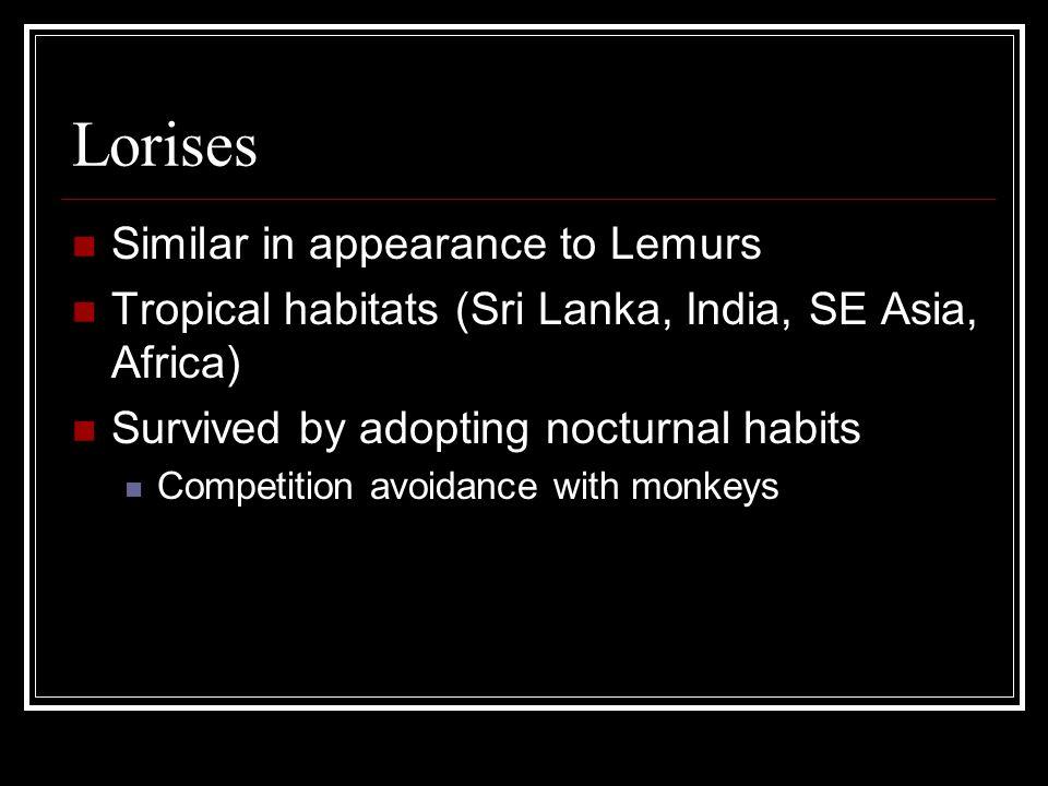Lorises Similar in appearance to Lemurs