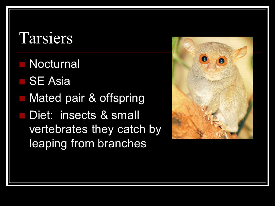Tarsiers Nocturnal SE Asia Mated pair & offspring