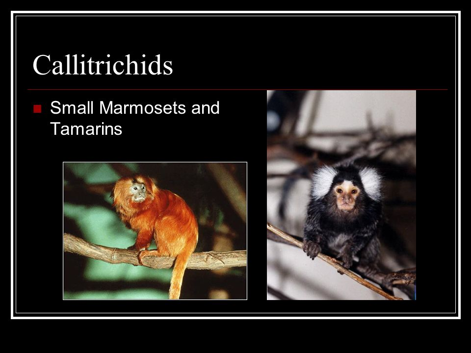 Callitrichids Small Marmosets and Tamarins