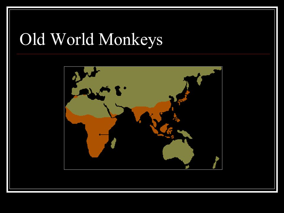 Old World Monkeys
