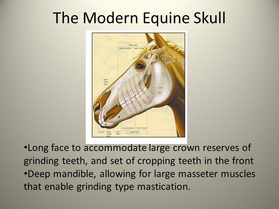 The Modern Equine Skull