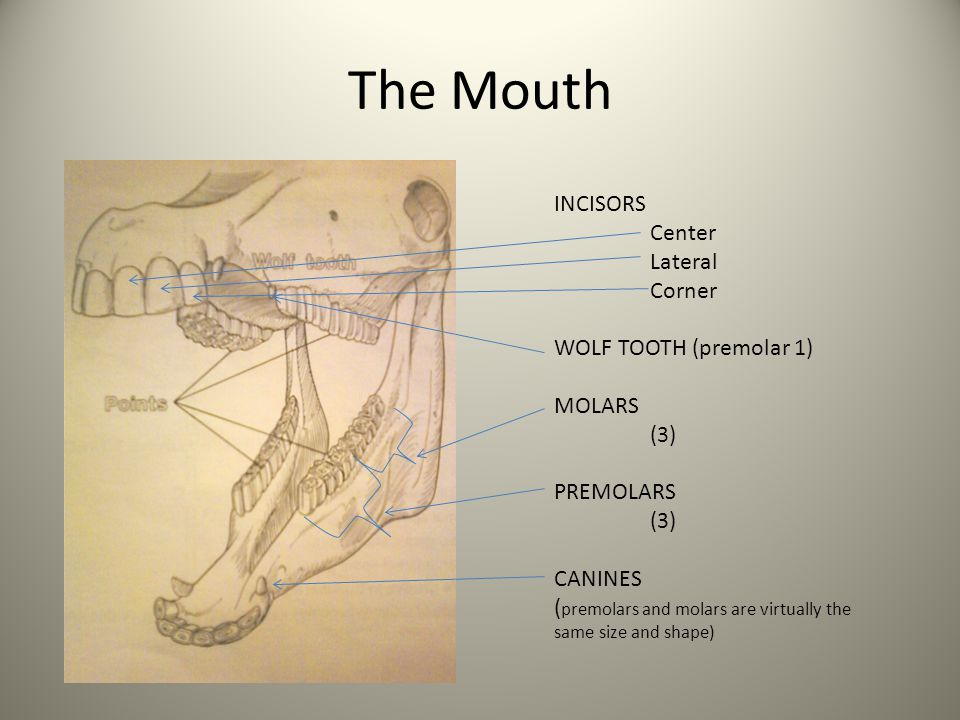 The Mouth INCISORS Center Lateral Corner WOLF TOOTH (premolar 1)