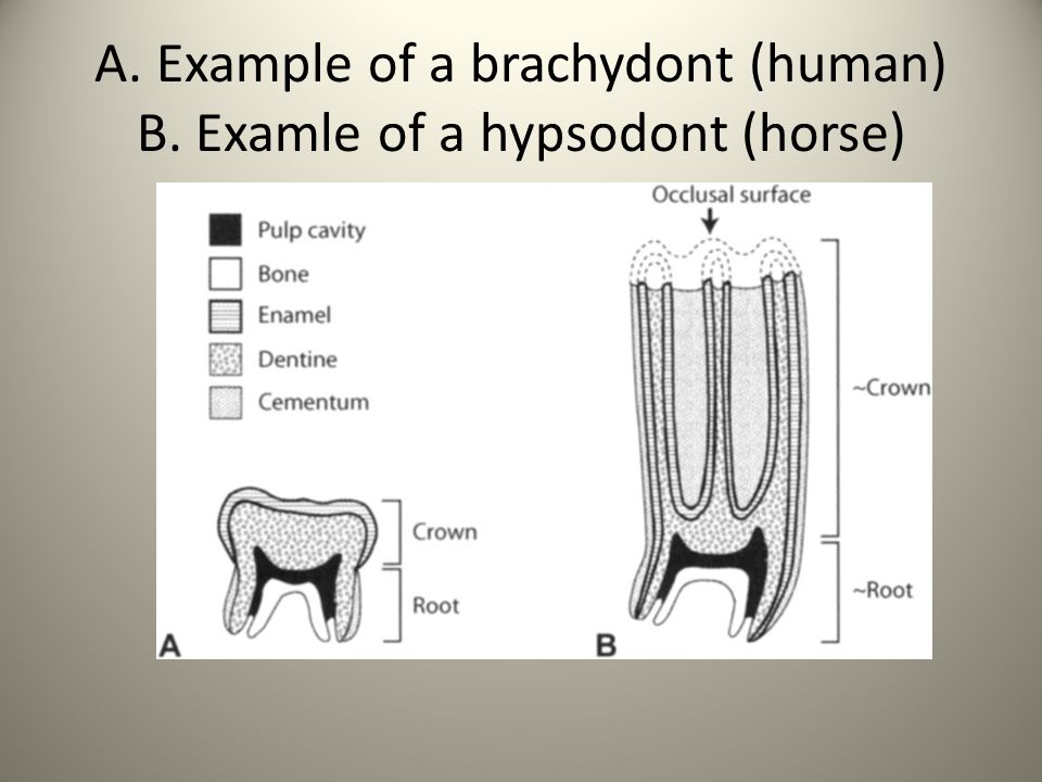 A. Example of a brachydont (human) B. Examle of a hypsodont (horse)