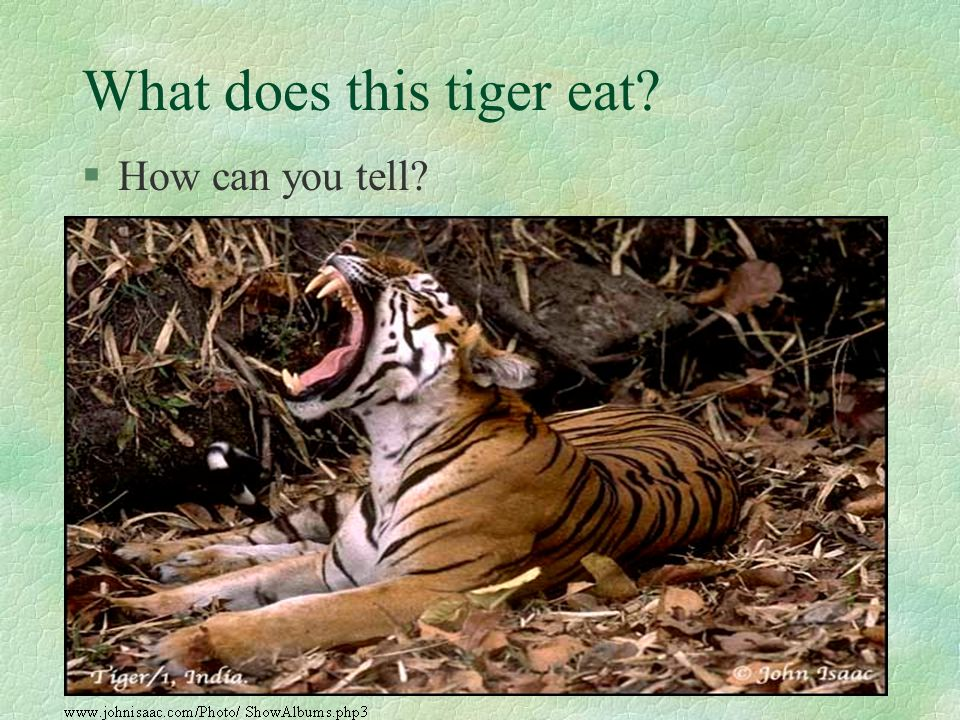 What does this tiger eat