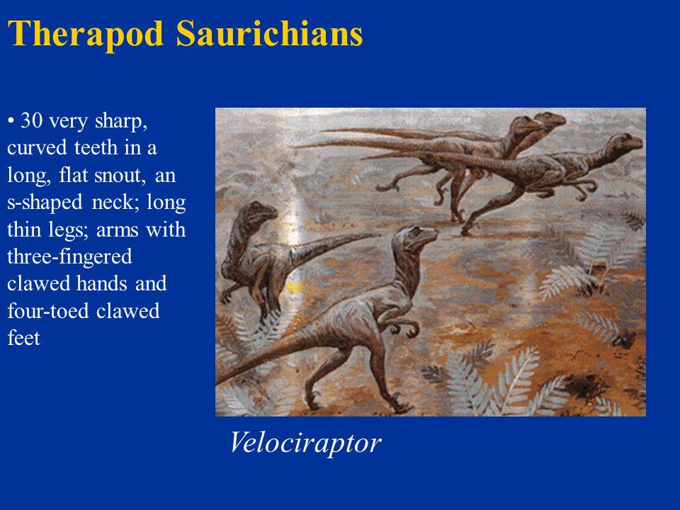 Therapod Saurichians Velociraptor