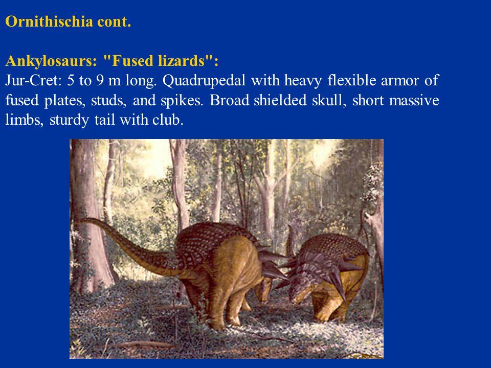 Ornithischia cont. Ankylosaurs: Fused lizards :
