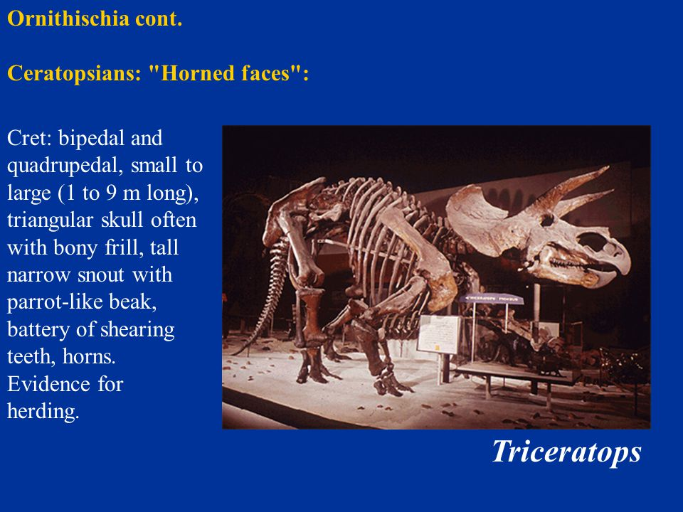 Triceratops Ornithischia cont. Ceratopsians: Horned faces :