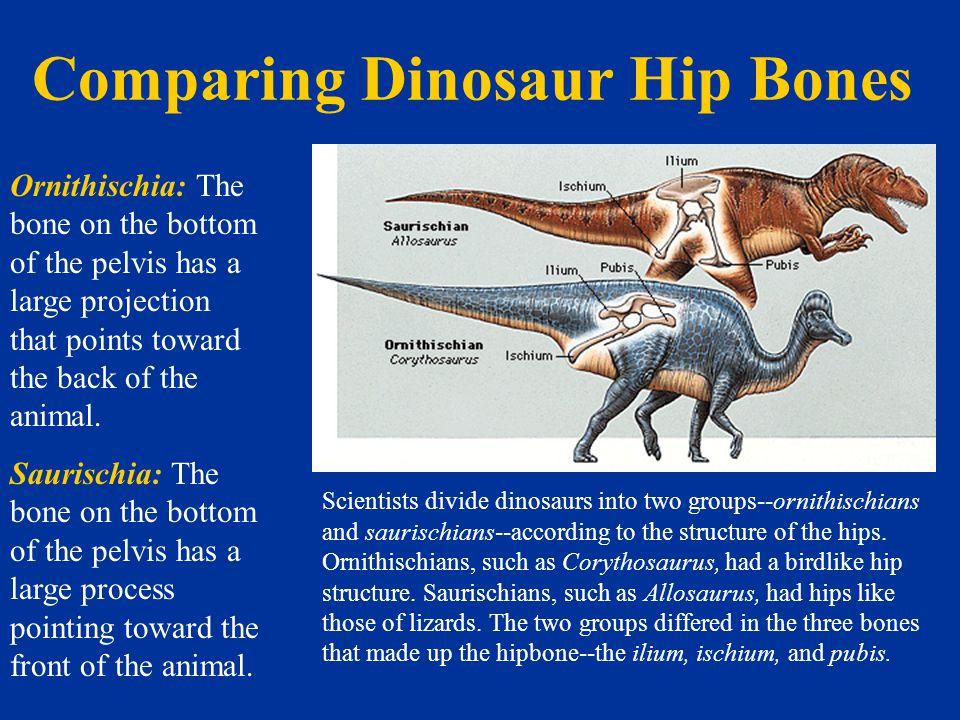 Comparing Dinosaur Hip Bones