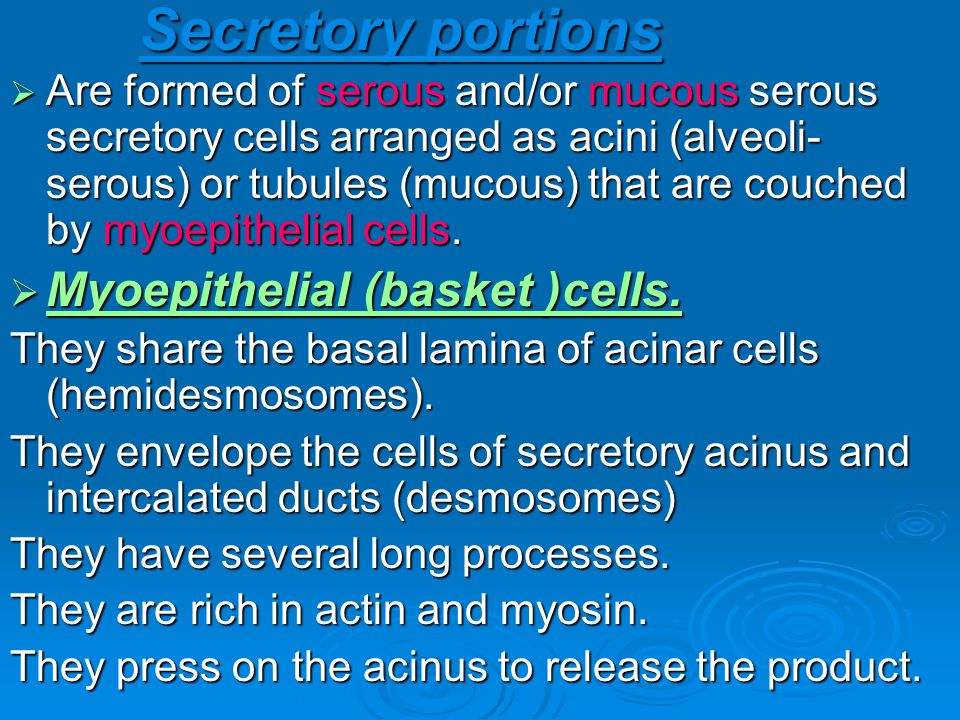Secretory portions Myoepithelial (basket )cells.