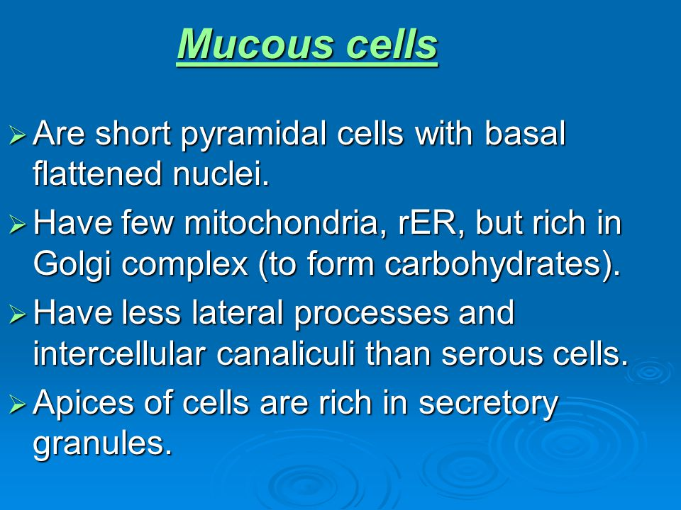 Mucous cells Are short pyramidal cells with basal flattened nuclei.