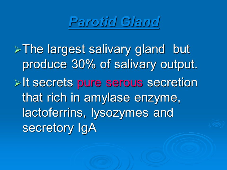 Parotid Gland The largest salivary gland but produce 30% of salivary output.
