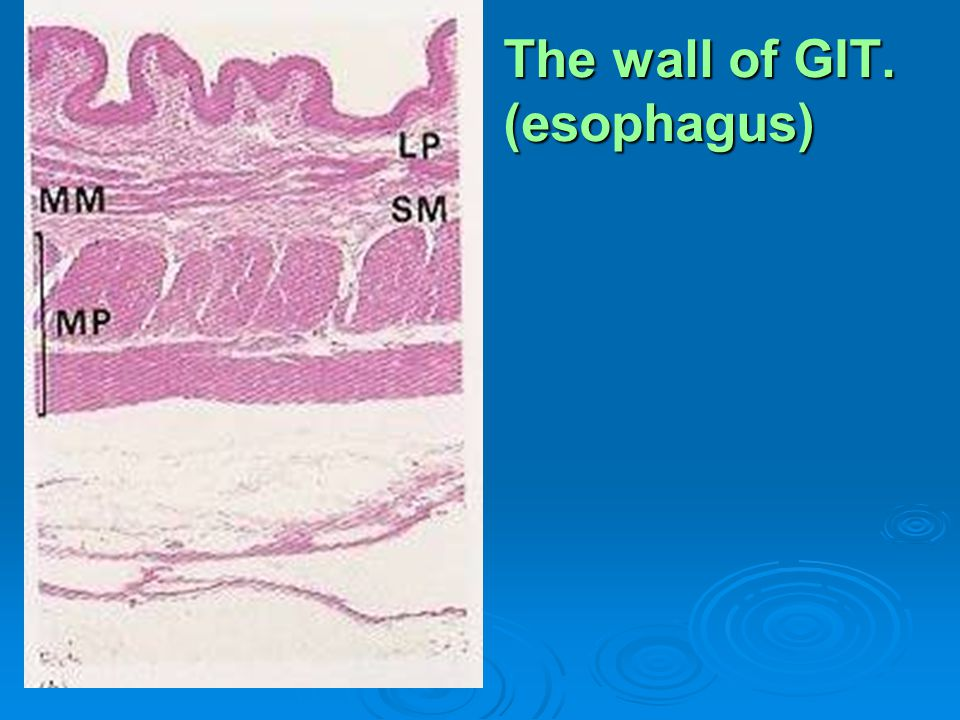 The wall of GIT. (esophagus)
