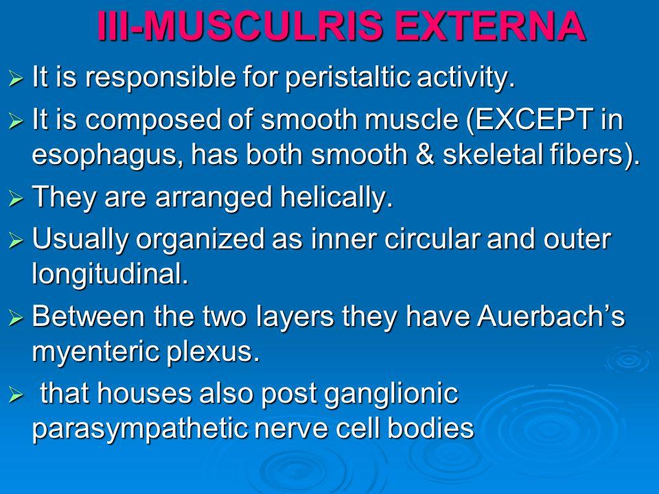 III-MUSCULRIS EXTERNA