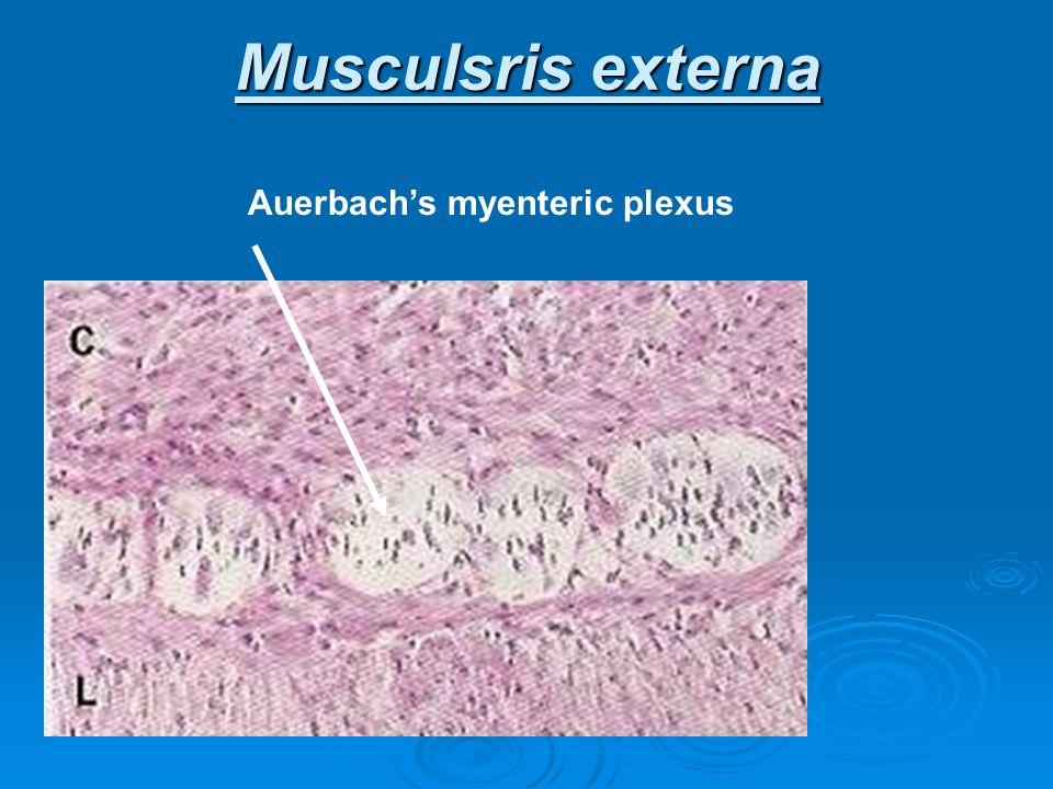 Musculsris externa Auerbach's myenteric plexus