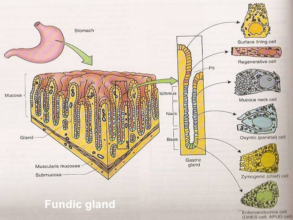 Fundic gland