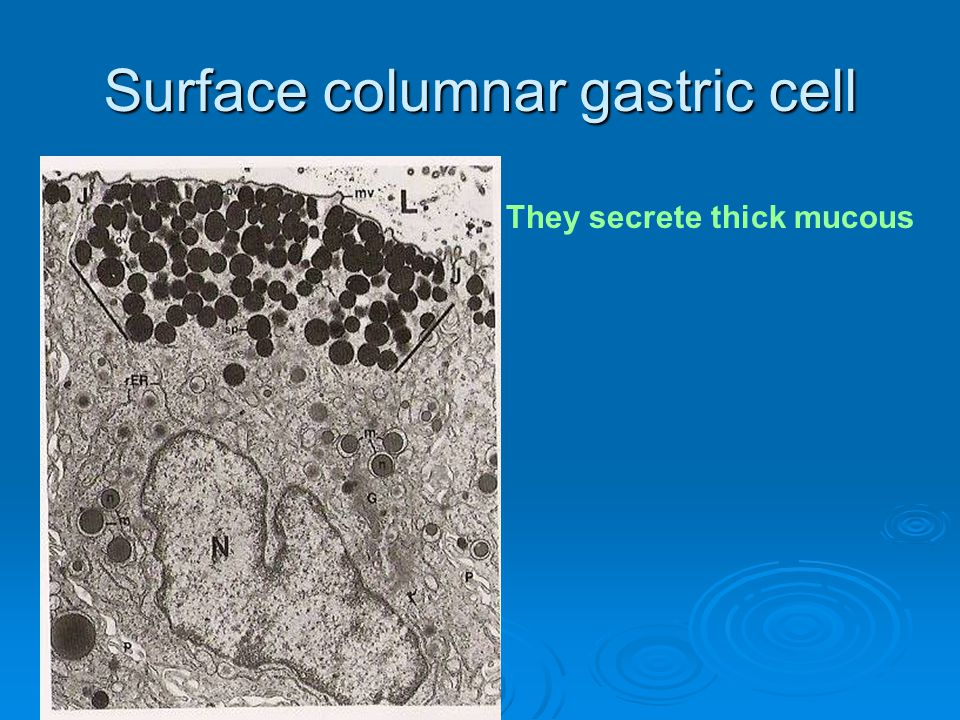 Surface columnar gastric cell