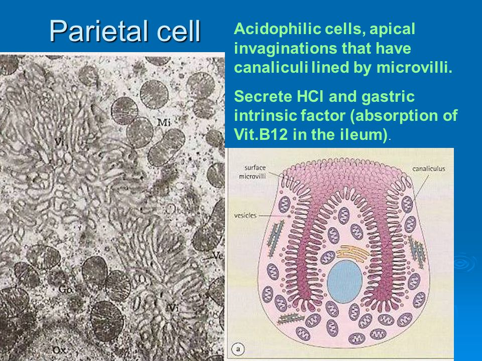Parietal cell Acidophilic cells, apical invaginations that have canaliculi lined by microvilli.