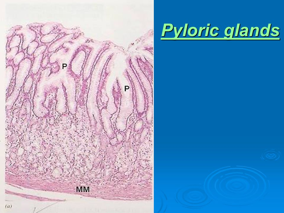 Pyloric glands