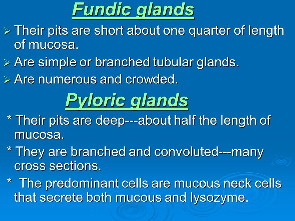 Fundic glands Their pits are short about one quarter of length of mucosa. Are simple or branched tubular glands.