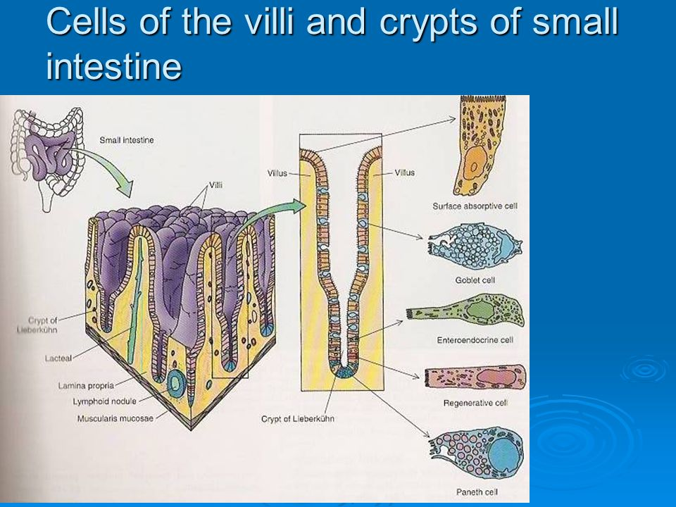 Cells of the villi and crypts of small intestine