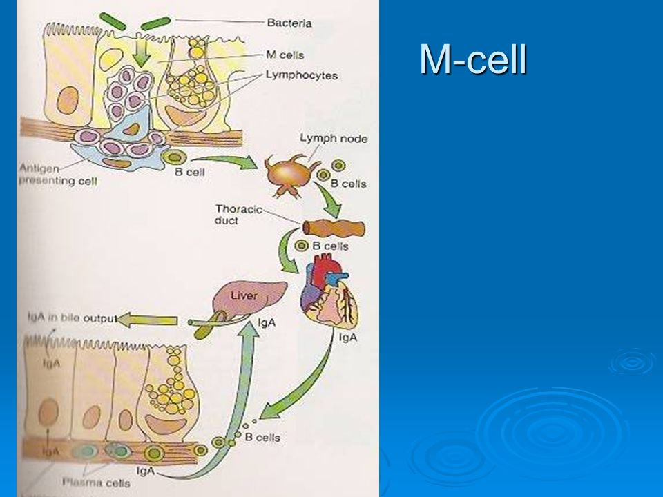 M-cell