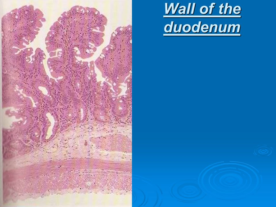 Wall of the duodenum