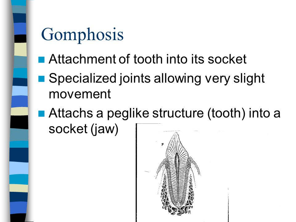 Gomphosis Attachment of tooth into its socket