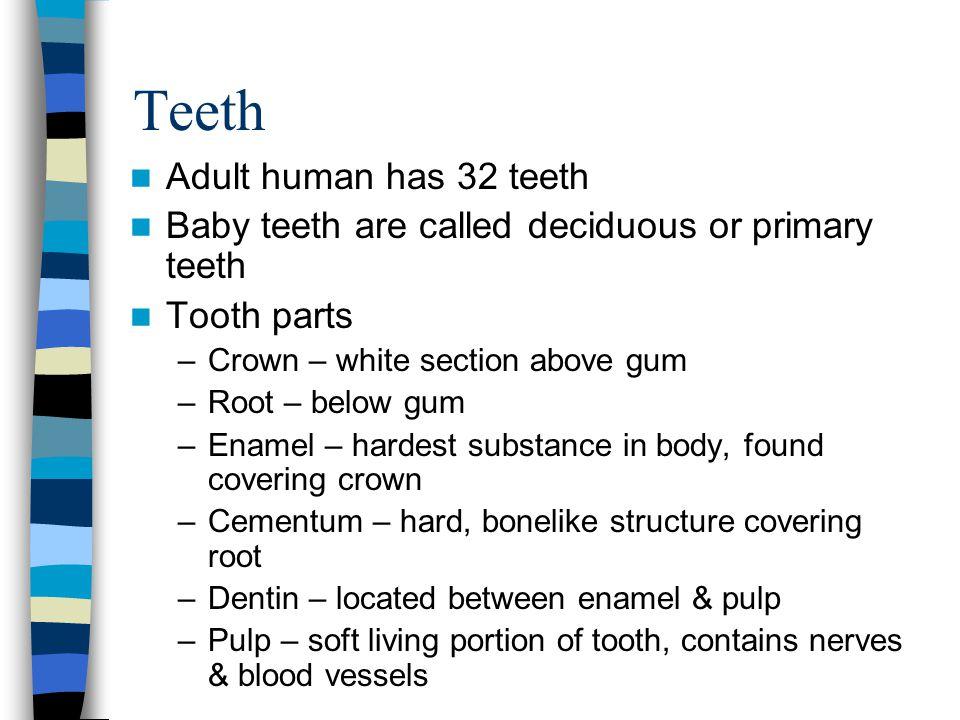 Teeth Adult human has 32 teeth