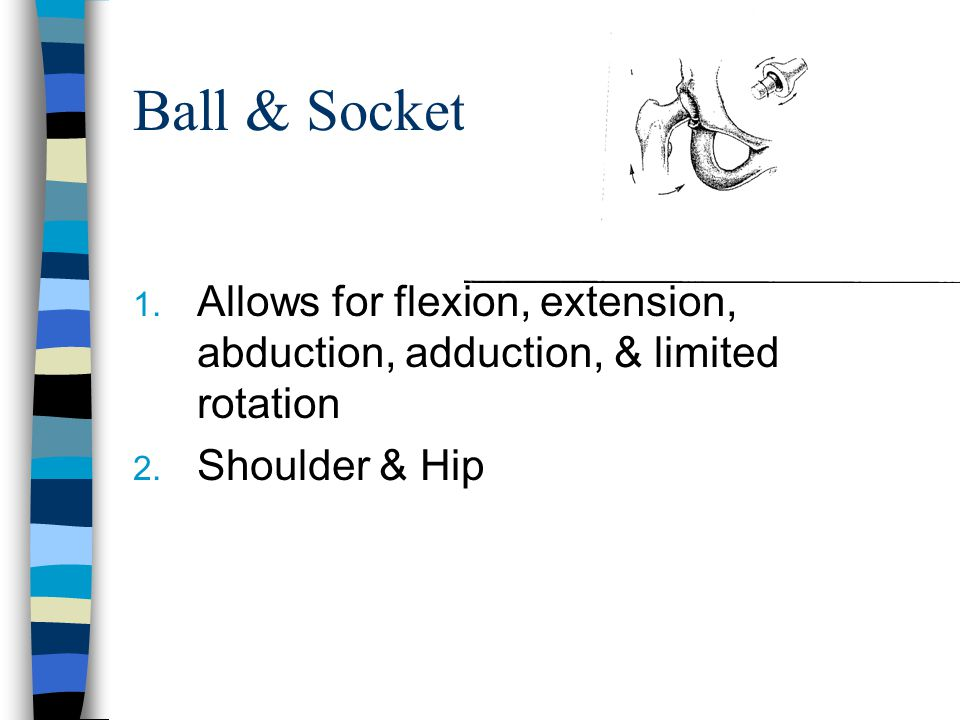 Ball & Socket Allows for flexion, extension, abduction, adduction, & limited rotation.