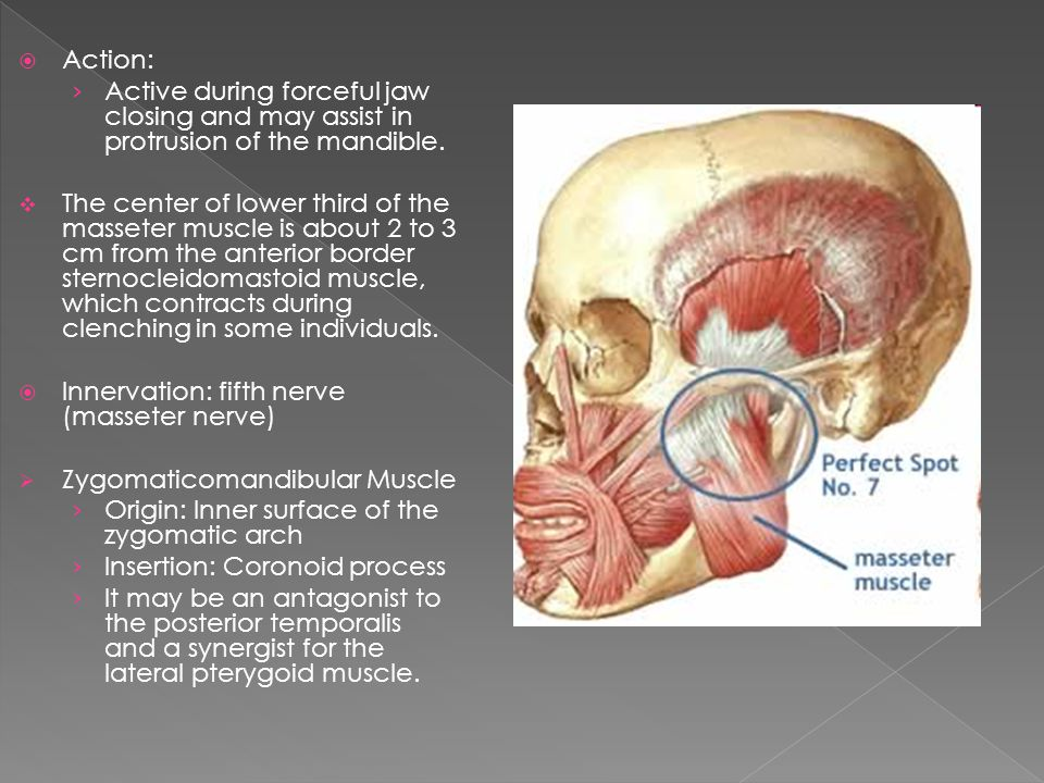 Action: Active during forceful jaw closing and may assist in protrusion of the mandible.