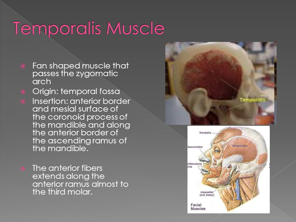 Temporalis Muscle Fan shaped muscle that passes the zygomatic arch
