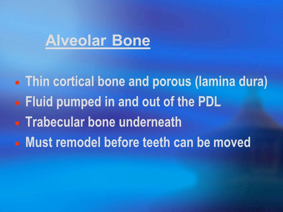 Alveolar Bone Thin cortical bone and porous (lamina dura)