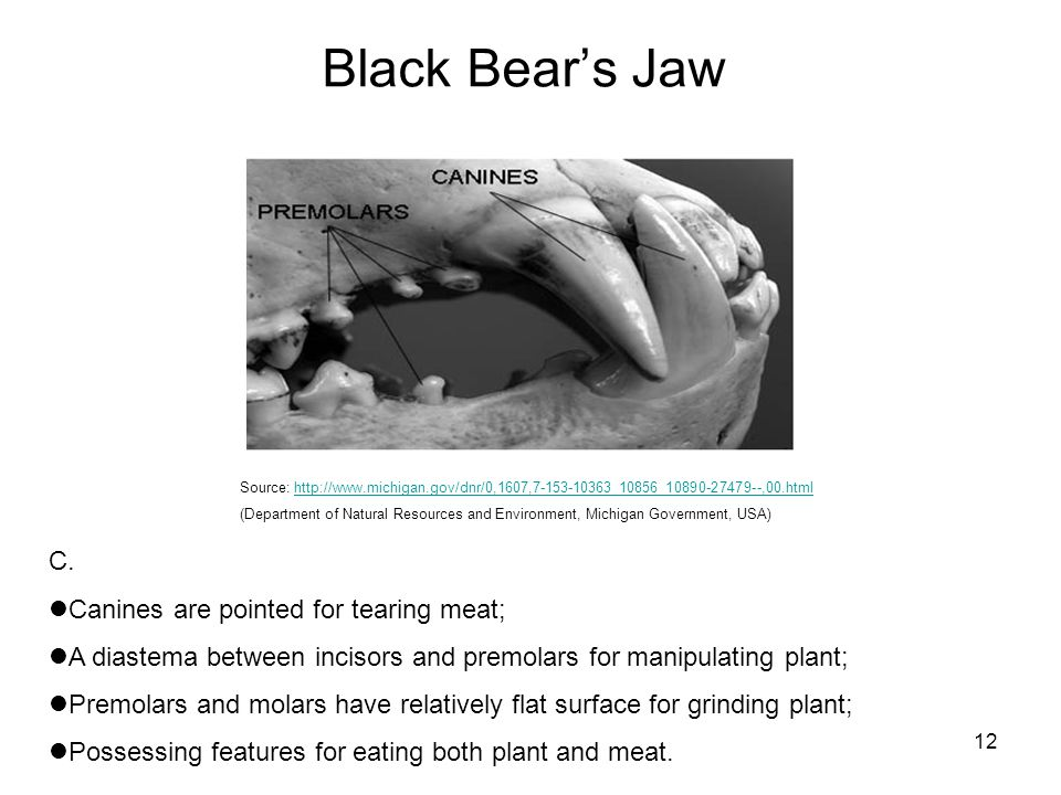 Black Bear's Jaw C. Canines are pointed for tearing meat;