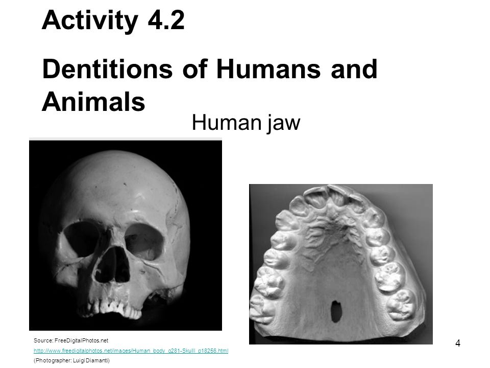 Dentitions of Humans and Animals
